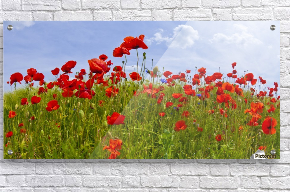 Field of Red Poppies  Acrylic Print