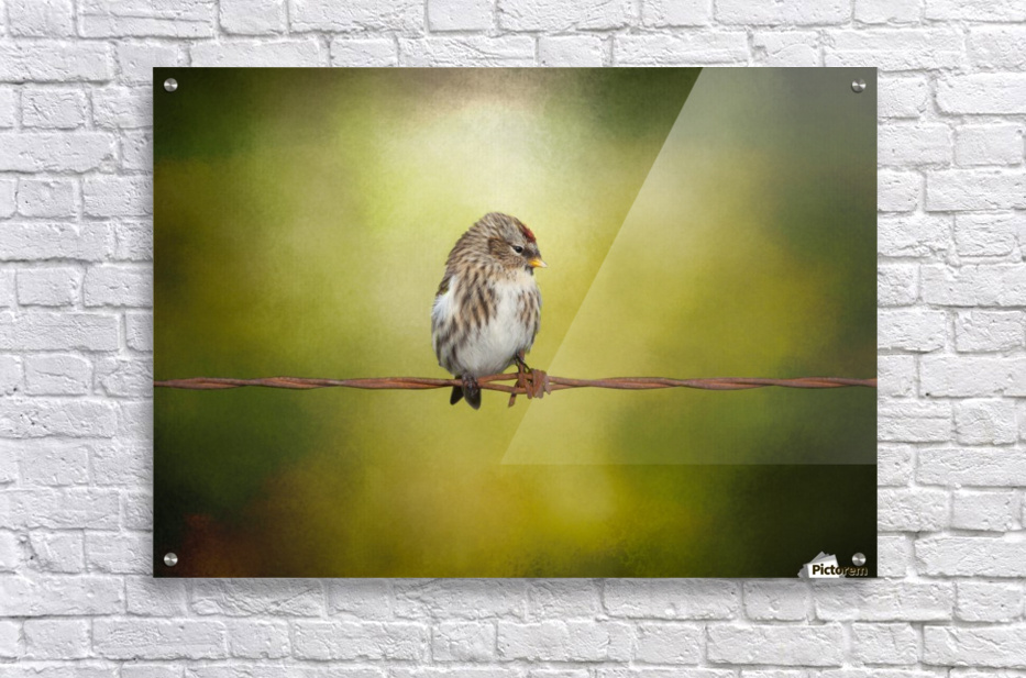 Redpoll on a Wire  Acrylic Print