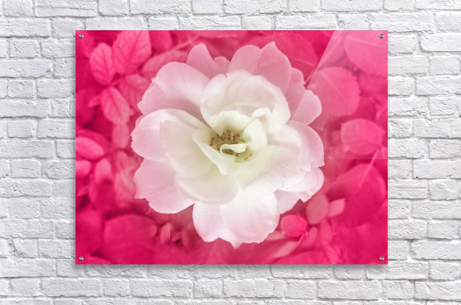 White Rose Top View  Acrylic Print