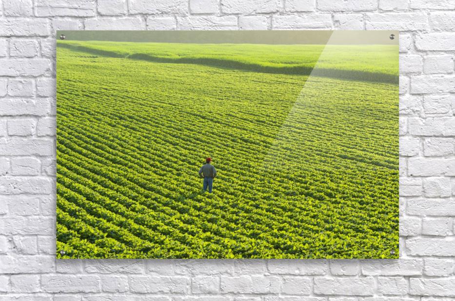 Portrait of a farmer walking through a large green soybean field in central Iowa in summer; Iowa, United States of America  Acrylic Print