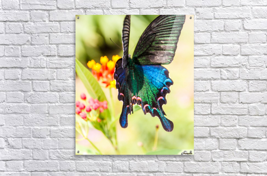 Butterfly not in the sky  Acrylic Print