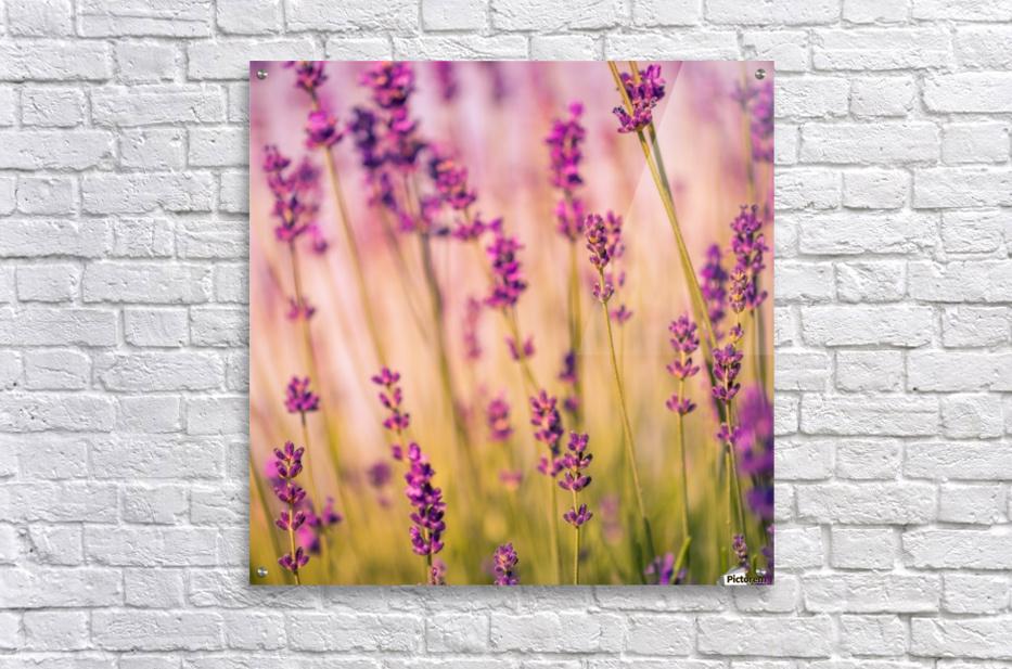 Beautiful Sunset lavender flowers  Acrylic Print