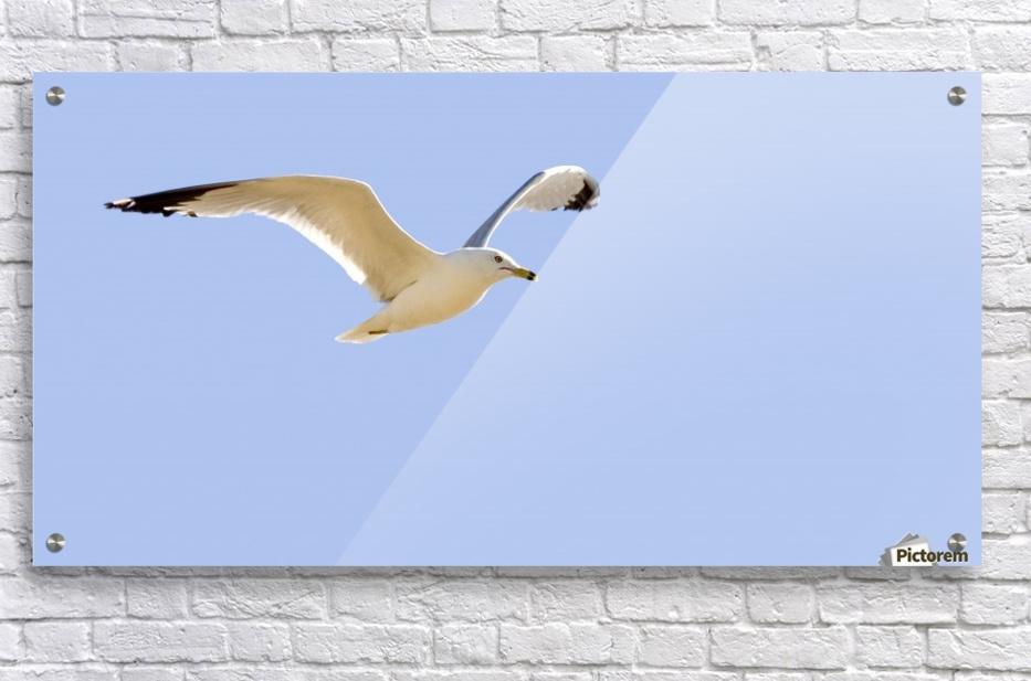 Seagull In Flight  Acrylic Print