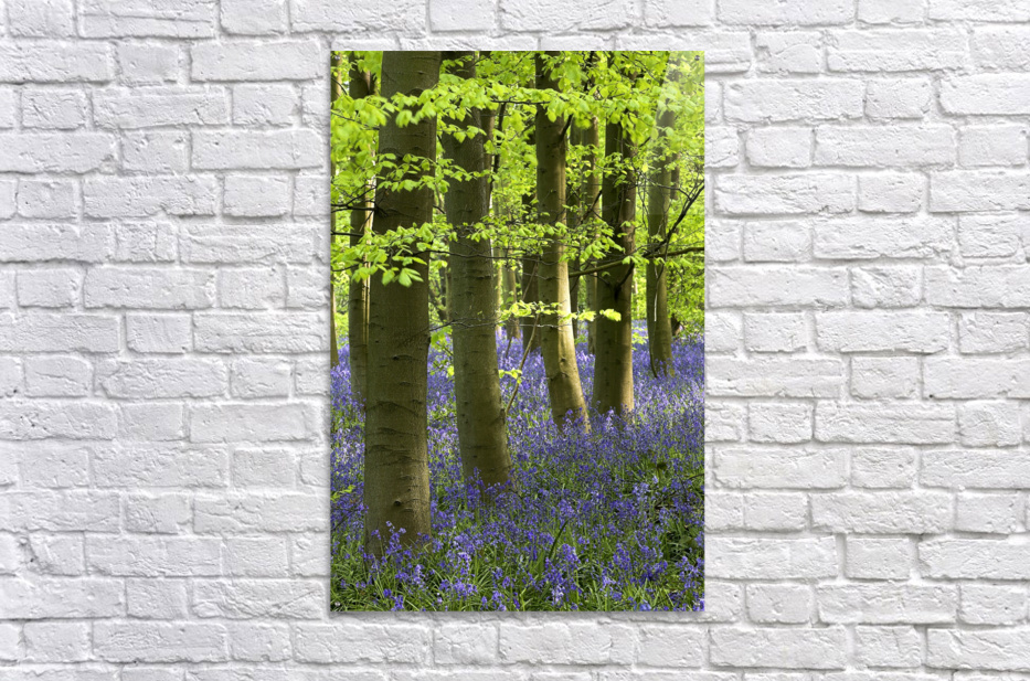 Bluebells In The Woods, Nottinghamshire, England  Acrylic Print