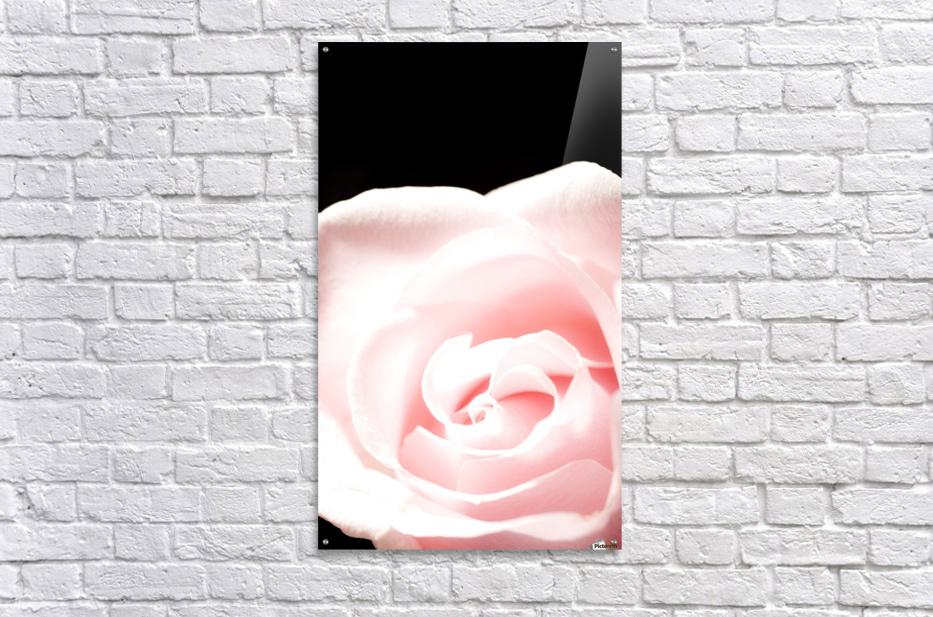 Pink Rose, Close-Up  Acrylic Print