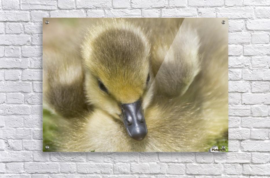 Fuzzy Gosling  Acrylic Print