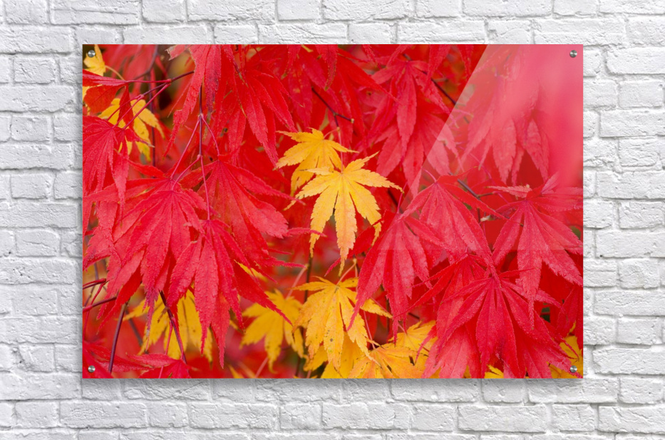 Close-Up Fall Leaves  Acrylic Print