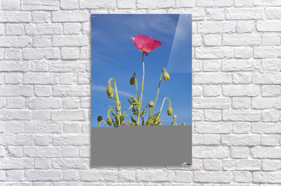 Red Flower Against Blue Sky  Acrylic Print