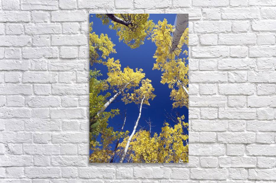 Forest During Autumn, Kananaskis, Alberta, Canada  Acrylic Print