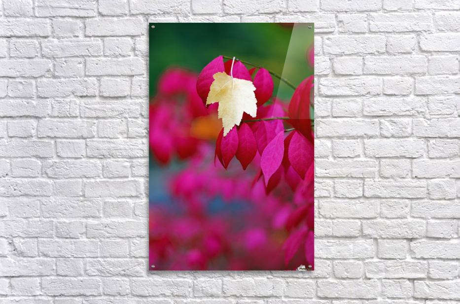 Oregon, United States Of America; A Yellow Leaf Fallen On Pink Leaves  Acrylic Print