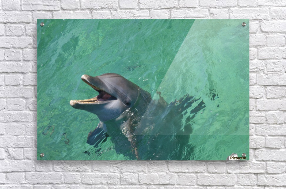Roatan, Bay Islands, Honduras; Bottlenose Dolphin (Tursiops Truncatus) At Anthony's Key Resort  Acrylic Print