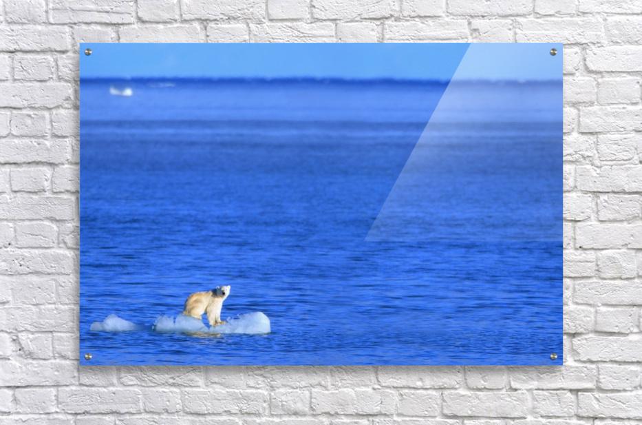 Polar Bear (Ursus Maritimus) Standing On A Piece Of Floating Ice; Coburg Island, Nunavut, Canada  Acrylic Print