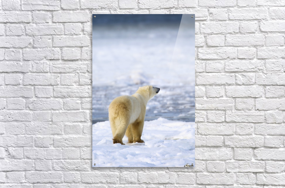 Polar Bear (Ursus Maritimus) Sniffs The Air As He Is On The Hunt For Food; Churchill, Manitoba, Canada  Acrylic Print