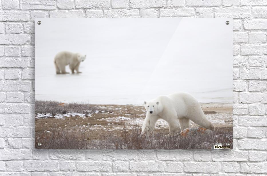 Polar Bears (Ursus Maritimus) Staring Ahead As They Walk Across The Frozen Tundra; Churchill, Manitoba, Canada  Acrylic Print