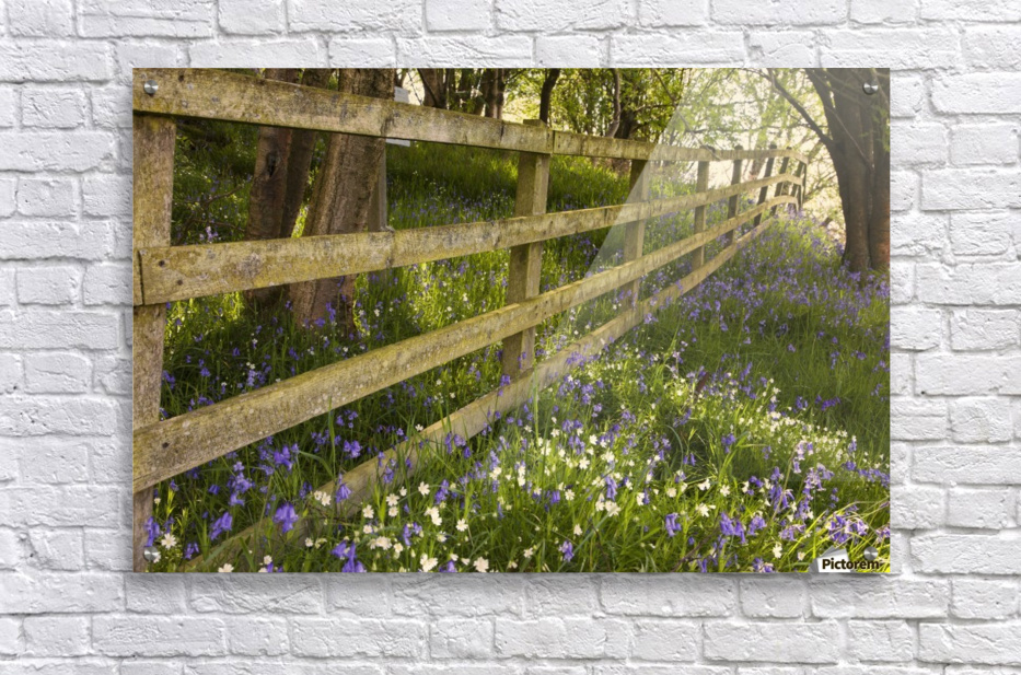 A Wooden Fence In A Forested Area With Blue And White Wildflowers On The Ground; Northumberland, England  Acrylic Print