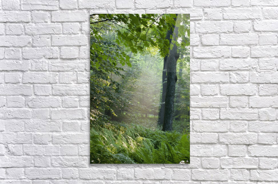 Trees In The Woods In The Early Morning Fog; Iron Hill, Quebec, Canada  Acrylic Print