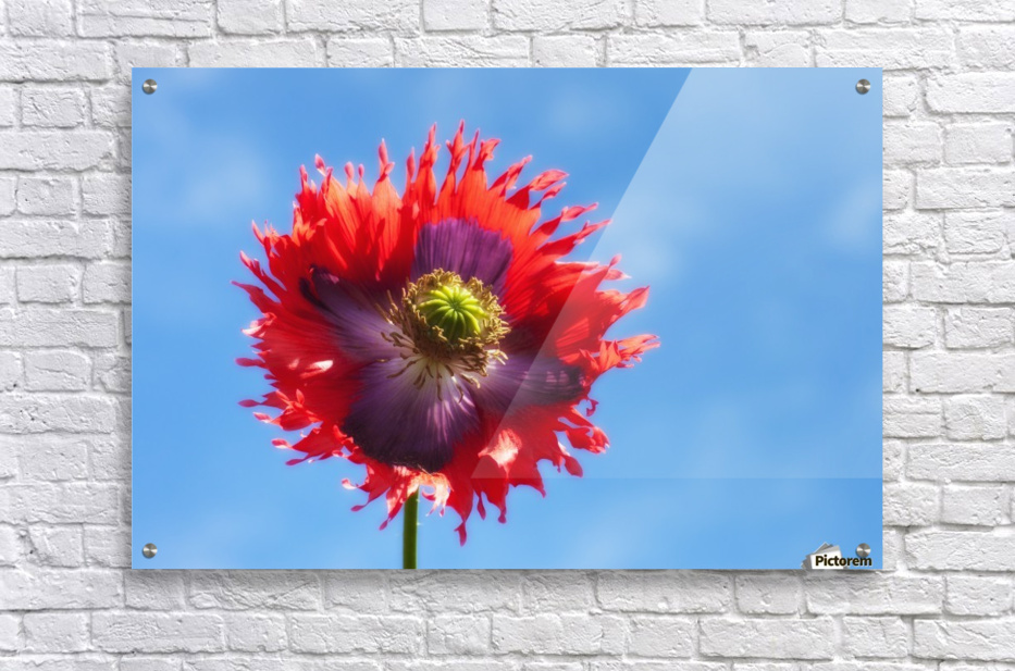 A Colorful Flower With Red And Purple Petals Against A Blue Sky; Northumberland, England  Acrylic Print