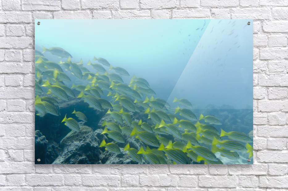 A School Of Fish Swimming Underwater; Galapagos, Equador  Acrylic Print