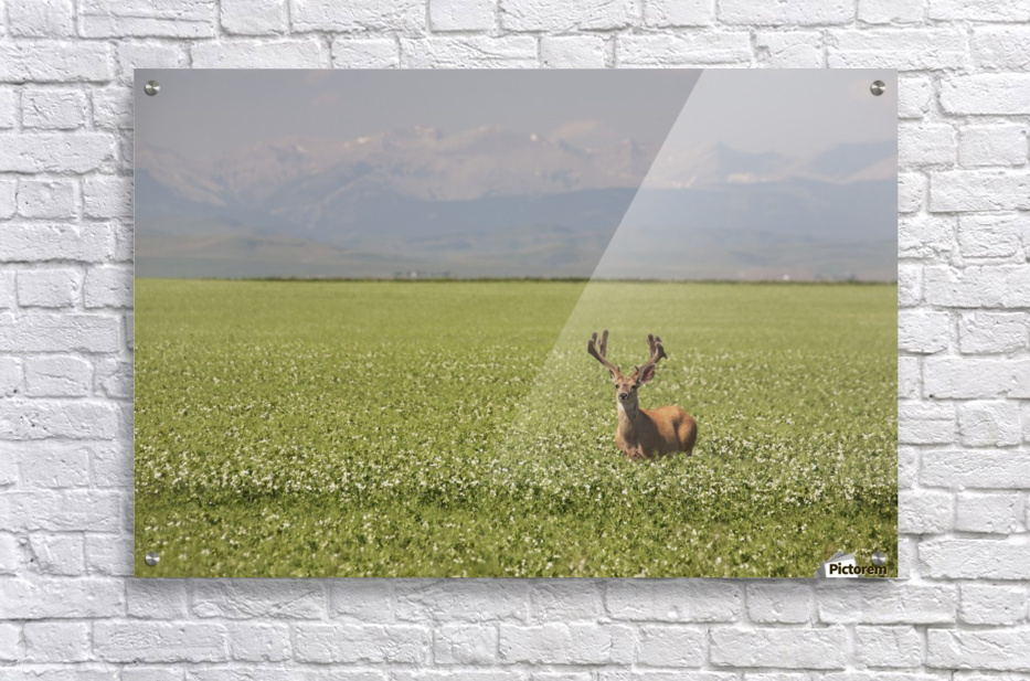 Male Deer With Antlers In A Flowering Pea Field With Mountains And Foothills In The Background; Alberta, Canada  Acrylic Print