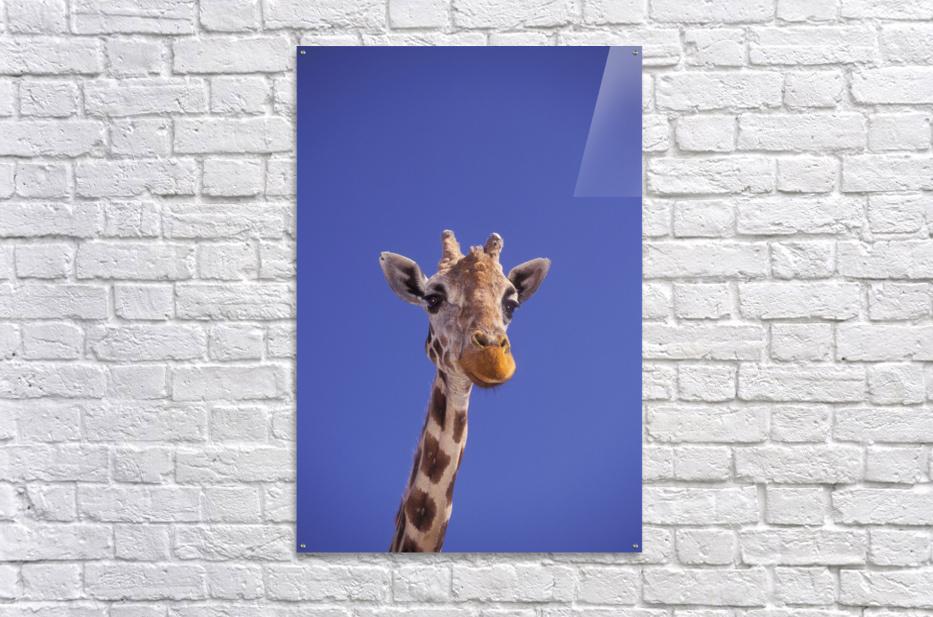Masai Giraffe, Serengeti, Africa  Acrylic Print
