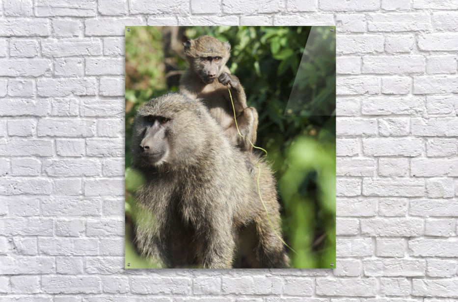 A monkey and it's baby sitting on her back in the maasai mara national reserve;Maasai mara kenya  Acrylic Print