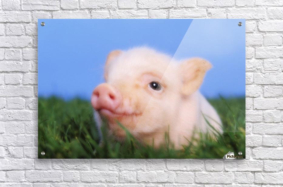 Baby pig lying on grass;British columbia canada  Acrylic Print