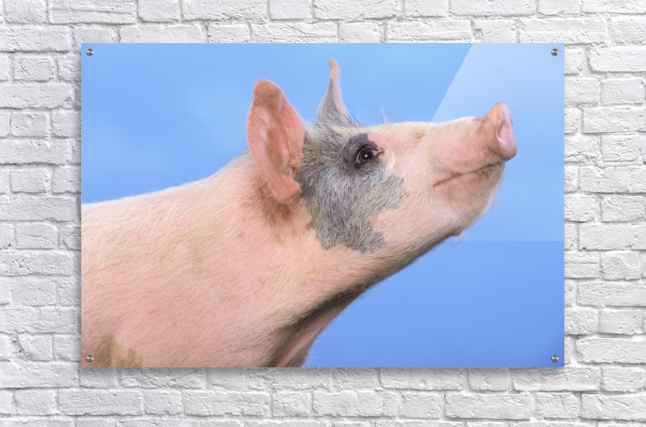 Pig with a blue background;British columbia canada  Acrylic Print