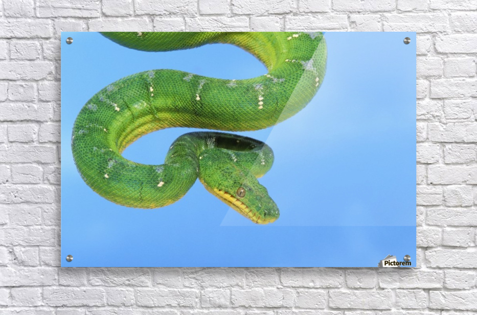 Emerald tree boa (corallus caninus) on a blue background;British columbia canada  Acrylic Print