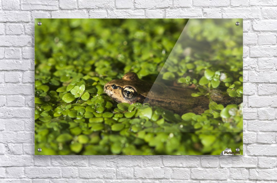 A Red-Legged Frog Rests In Small Plants; Astoria, Oregon, United States Of America  Acrylic Print