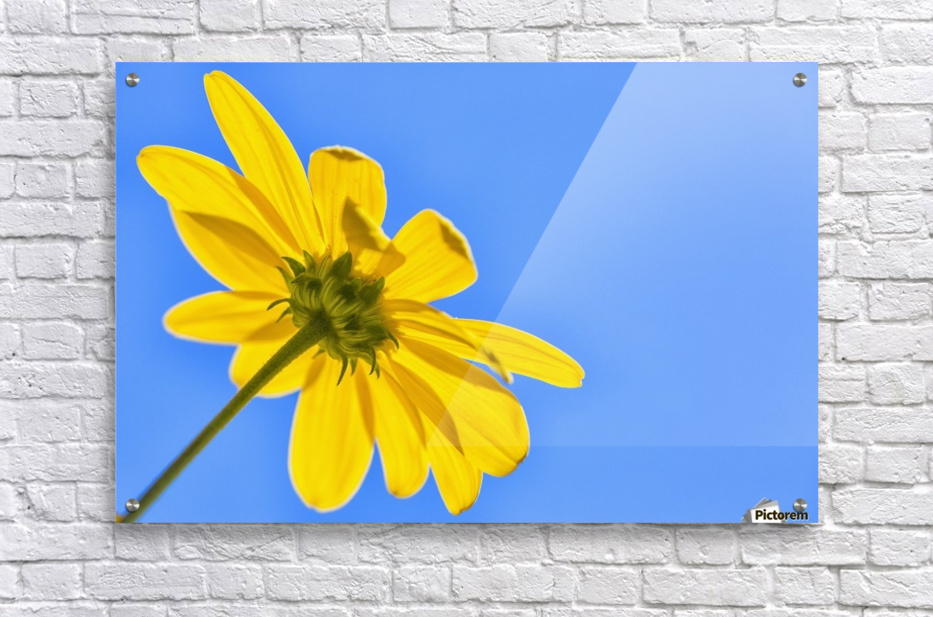 Yellow flower against a blue sky; Bolivia  Acrylic Print