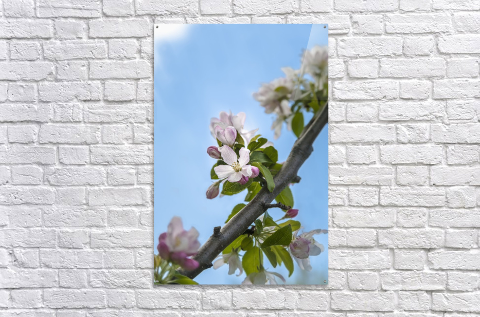 Pink and white crabapple flowers against a blue sky; Toronto, Ontario, Canada  Acrylic Print