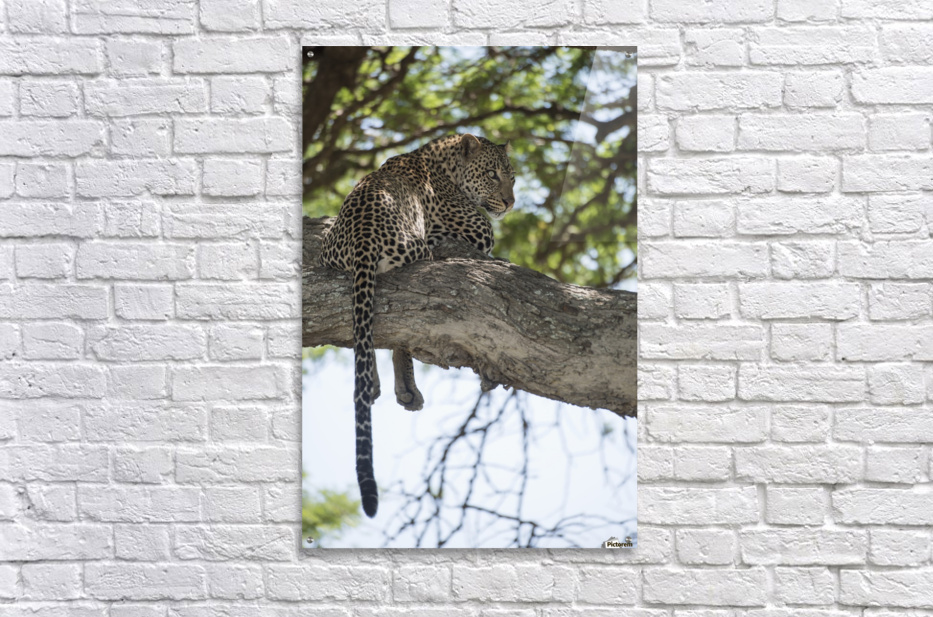 Leopard resting in tree near Ndutu, Ngorongoro Crater Conservation Area; Tanzania  Acrylic Print