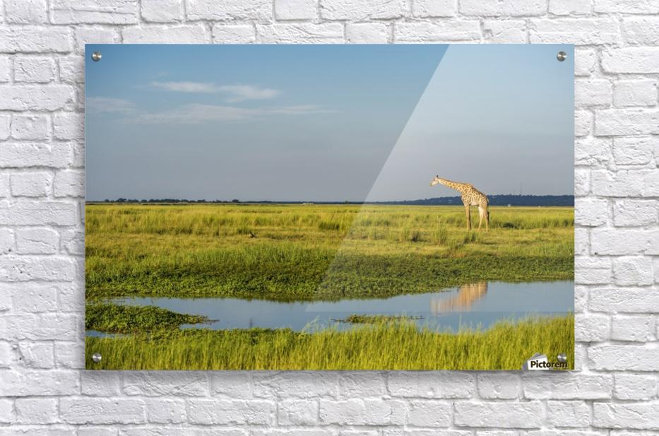 Giraffe (Giraffa camelopardalis), Chobe National Park; Kasane, Botswana  Acrylic Print