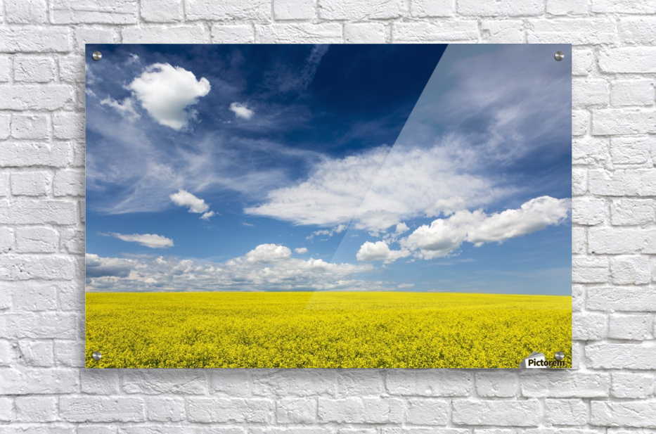 Flowering canola field with clouds and blue sky; Alberta, Canada  Acrylic Print