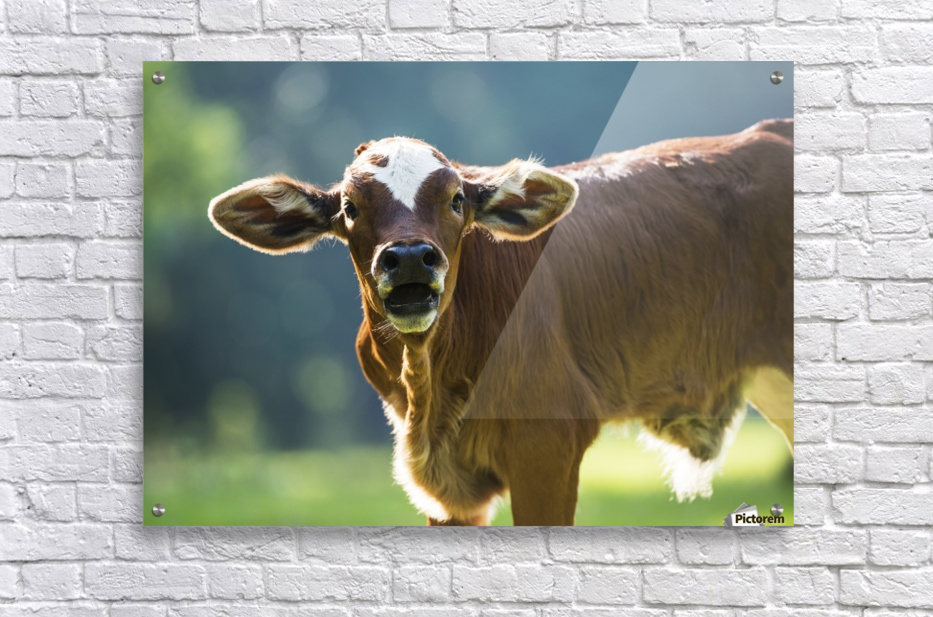 Herford calf bawls for it's mother; Gaitor, Florida, United States of America  Acrylic Print