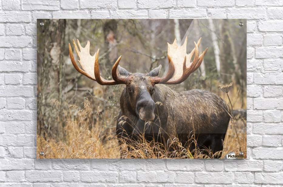 Bull moose (alces alces) in rutting season; Anchorage, Alaska, United States of America  Acrylic Print