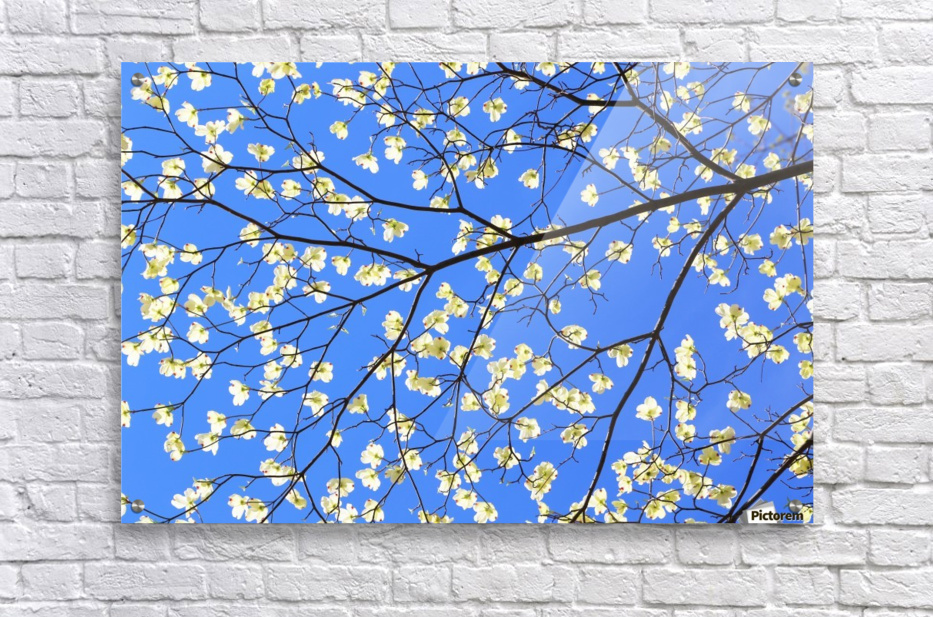 Blue Sky and Dogwood  Acrylic Print