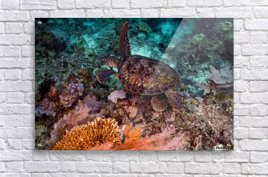 Clean turtle  Acrylic Print