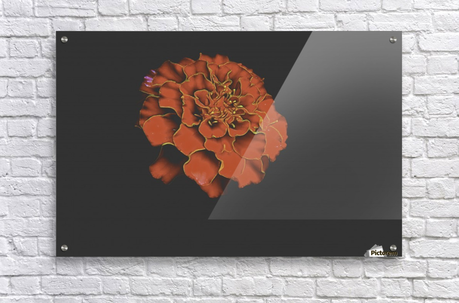 Carnation Bliss  Acrylic Print