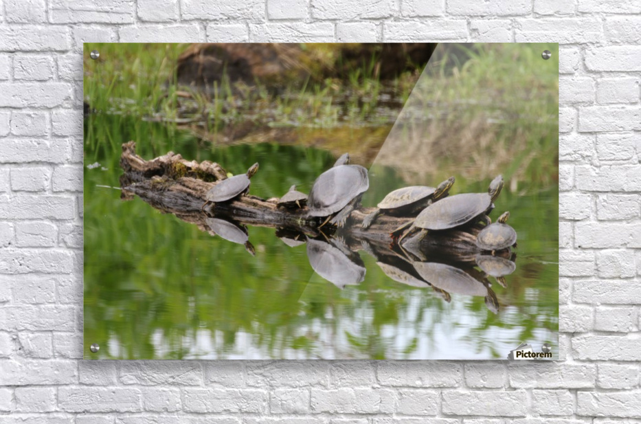 Turtle reflections  Acrylic Print