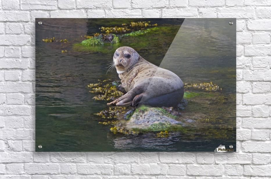 Sea lion near Depoe Bay, OR  Acrylic Print