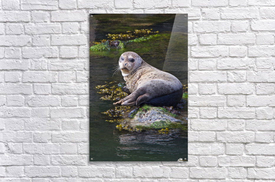 Sea lion portrait near Depoe Bay, OR  Acrylic Print