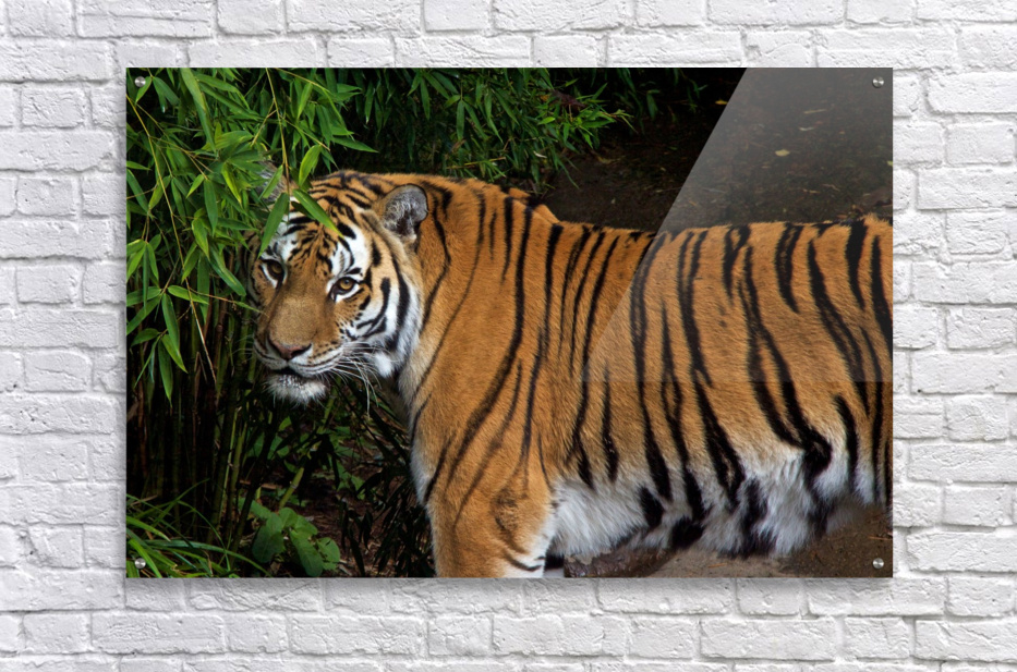 Female Tiger  Acrylic Print