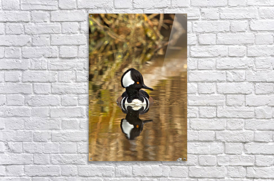 Hooded Merganser Drake Reflection-portrait  Acrylic Print