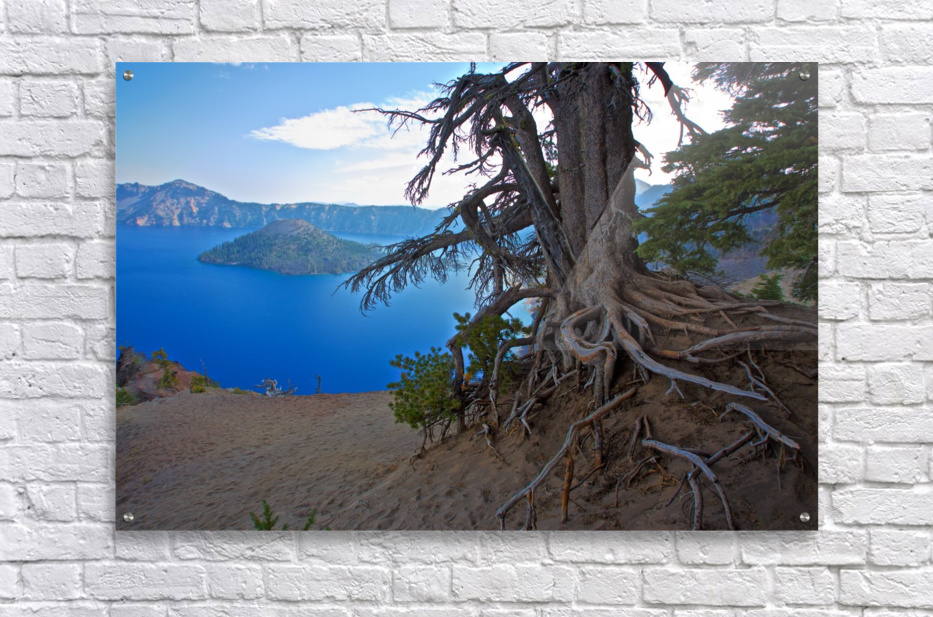 Gnarled White Pine overlooking Crater Lake Aug 2015  Acrylic Print