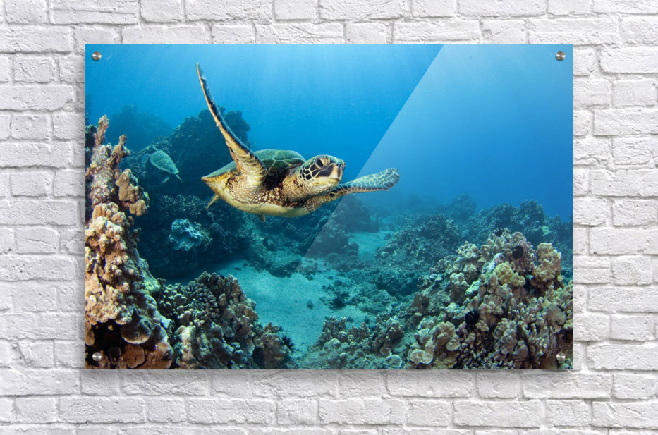 USA, Green Sea Turtle (Chelonia Mydas); Hawaii  Acrylic Print