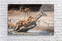 Kudu jump  Acrylic Print