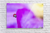 A ladybug on a pink clematis;British columbia canada  Acrylic Print