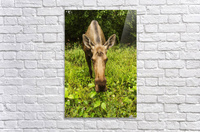 Cow moose (alces alces), close up with a wide angle lense, south-central Alaska; Alaska, United States of America  Acrylic Print
