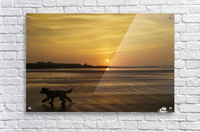 A dog runs across a wet beach with the golden sun setting in an orange sky along the coast and Bamburgh Castle in the distance; Bamburgh, Northumberland, England  Acrylic Print